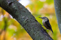 Nuthatch Sitta passerine Royalty Free Stock Images