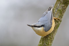 Nuthatch. Sittig on the characteristic way - the head at the bottom Stock Images