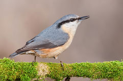 Nuthatch. Sitting on the branch and watching, blurred background Stock Images