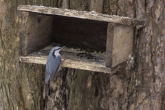 Nuthatch sitting on the feeder. Stock Photo
