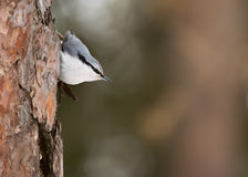 Nuthatch Royalty Free Stock Photos