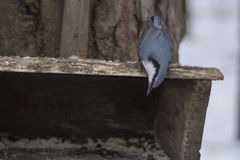 Nuthatch sitting head down on the feeder. Stock Image
