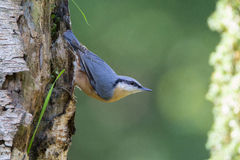 Nuthatch. Is sitting on a rock Royalty Free Stock Image