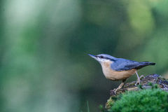 Nuthatch. Is sitting on a rock Royalty Free Stock Photography