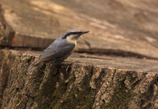 Nuthatch sitting on stump of tree Stock Images
