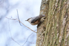 Nuthatch sitting on a tree trunk. Royalty Free Stock Photos