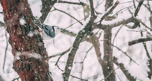 Nuthatch in Snow stock photography