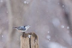 Nuthatch in snow storm Stock Photos