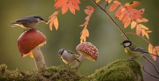 Nuthatch standing with mushroom and a great tit Stock Photos