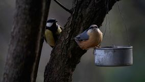 The nuthatch and the tit at the feeding tin. A nuthatch Sitta europaea sits on a feeding tin with a sunflower seed in his beak while the tit Parus Major is Royalty Free Stock Photos