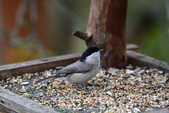 Nuthatch titmouse eats seeds in the fodder rack royalty free stock image