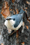 Nuthatch on the tree Stock Photo