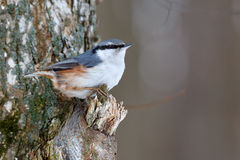 Nuthatch on a tree branch, looking for food. Royalty Free Stock Photo