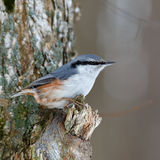Nuthatch on a tree branch, looking for food. Stock Image