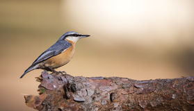 Nuthatch on a Tree Branch (Sitta europaea) Stock Photo