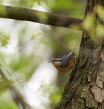 Nuthatch on a tree. European nuthatch Sitta europaea on a tree bark Stock Photos