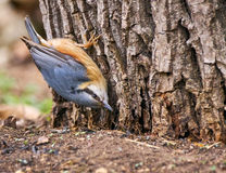 Nuthatch on a tree Stock Photo