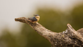 Nuthatch on tree-log Royalty Free Stock Photos