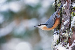 Nuthatch on tree Royalty Free Stock Photo