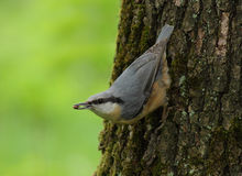 Nuthatch on tree Royalty Free Stock Photography