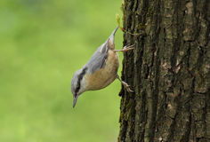 Nuthatch on tree Royalty Free Stock Images