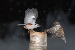 Nuthatch and Tree Sparrow Winter Fight. Fight near the winter feeder. Nuthatch (Sitta europaea) and Eurasian Tree Sparrow (Passer montanus stock photography