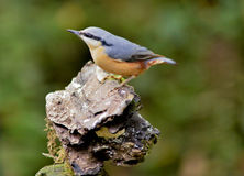 Nuthatch on a tree stump Royalty Free Stock Image