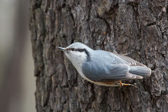 Nuthatch on a Tree Trunk Begging for Food Royalty Free Stock Photography
