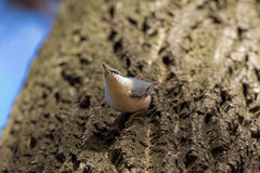 Nuthatch on a tree trunk Royalty Free Stock Image