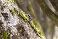 Nuthatch on the tree trunk Royalty Free Stock Image
