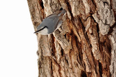 Nuthatch. Stock Image
