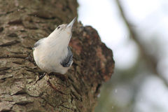 Nuthatch on tree. White Breasted Nuthatch on a tree in the rain Stock Photography