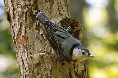 Nuthatch on Tree. A White-Breasted Nuthatch Sitta carolinensis on a tree Stock Image