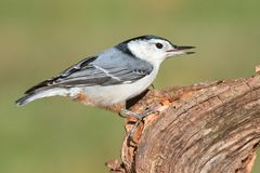 Nuthatch On A Tree Stock Photos