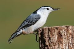 Nuthatch On A Tree Royalty Free Stock Photo