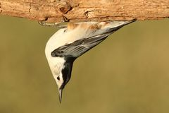 Nuthatch On A Tree Stock Image