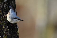 Nuthatch on the trunk of a tree Stock Photos