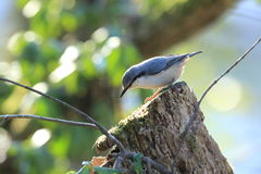 Nuthatch on the trunk of a tree Royalty Free Stock Photos