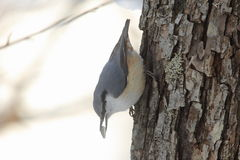 Nuthatch on the trunk of a tree Royalty Free Stock Photography