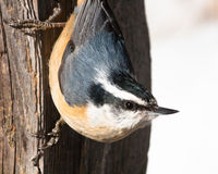 Nuthatch vertically on wood. A Nuthatch perched on some wood vertically Royalty Free Stock Images
