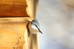 Nuthatch on the wall of log cabin Royalty Free Stock Photos
