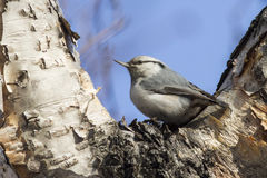 Nuthatch who sits in the fork of stone birch autumn Stock Photos
