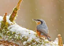 Nuthatch in winter. On a mossy snow covered branch Stock Photos