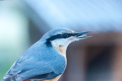 Nuthatch. During winter Nuthatch eat sunflower seed Royalty Free Stock Photos