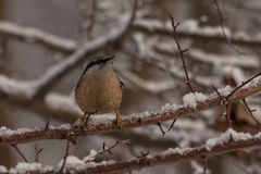 Nuthatch in winter Stock Photos