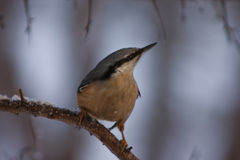 Nuthatch in winter Stock Photo