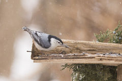 Nuthatch in winter storm Royalty Free Stock Photo