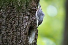 Nuthatchen ser på hans rede i fördjupningen av eken Fågelfamilj på den europeiska vårskogen Royaltyfri Foto