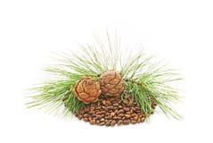 nutlets кедра Стоковая Фотография RF