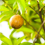 Nutmeg. A ripening nutmeg fruit in its tree royalty free stock photography